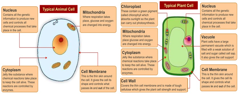 Easiest way to memorize the animal and plant cell structure cell pic ccuart Choice Image